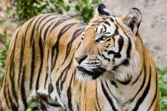 Tiger, Porträt eines Bengal-Tigers Lizenzfreies Stockbild