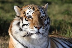 Tiger Portrait. Portrait of a beautiful tiger with striped fur stock photos