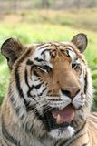Tiger portrait. Tiger with its mouth open portrait stock photos