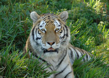 Tiger portrait. Portrait of tiger resting in green grass outdoors Stock Photography