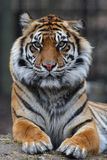 Tiger portrait. Close up shoot of tiger portrait Royalty Free Stock Photo