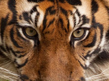 Tiger-Portrait Stockfotos
