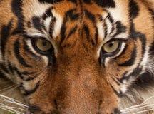 Tiger Portrait. Close up portrait of a tiger stock photos
