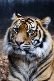 Tiger Portrait. Close up portrait of a tiger Stock Image