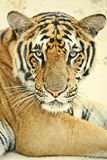 Tiger Portrait Stock Photo