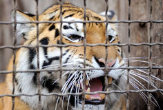 Tiger portrait Stock Photography