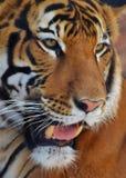 Tiger Portrait Fotografia de Stock Royalty Free