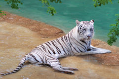 Tiger portrait. White tiger cooling down in the water Royalty Free Stock Image