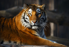 Tiger portrait Stock Photos