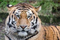 Tiger portrait. Beautiful tiger portrait staring into camera Stock Photo
