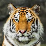 Tiger, Stock Photo