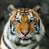 Tiger,. Portrait of a bengal tiger Royalty Free Stock Images