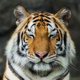Tiger,. Portrait of a bengal tiger Stock Photography