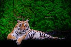 Tiger portrait of a bengal tiger stock photos