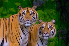 Tiger portrait of a bengal tiger stock photo