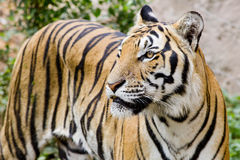 Tiger, portrait of a bengal tiger. Royalty Free Stock Image