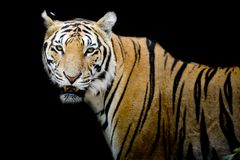 Tiger, portrait of a bengal tiger. Royalty Free Stock Images