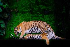 Tiger portrait of a bengal tiger stock image