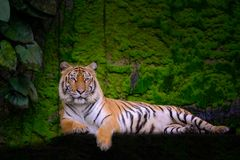 Tiger portrait of a bengal tiger stock images