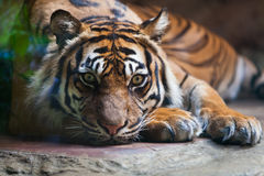 Tiger, portrait of a bengal tiger. At zoo stock image