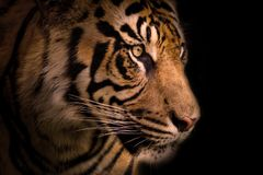 Tiger. Portrait with black background royalty free stock photos