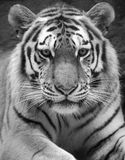 Tiger. Portrait of black and white tiger Royalty Free Stock Photos