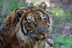Tiger portrait with a blurred, artistic background Stock Photo