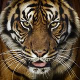 Tiger portrait. A tiger close-up frotal view portrait Stock Photography