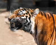 Tiger portrait closeup. On nature summer day Royalty Free Stock Image