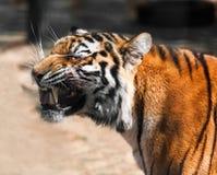 Tiger portrait closeup Royalty Free Stock Image