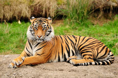 Tiger portrait horizontal. Portrait of a Royal Bengal tiger alert and staring at the camera Stock Photography
