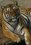 Tiger. Portrait of tiger laying down Stock Image