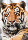 Tiger Portrait Royalty Free Stock Photography