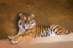 Tiger. A portrait of a posing tiger Royalty Free Stock Photography