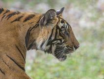Tiger Portrait,Ranthambhore National park,Rajasthan,India. Tiger Portrait at Ranthambhore National park,Rajasthan,India,Asia stock photo