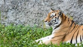 Tiger portrait with rock in the background Royalty Free Stock Image