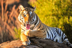 Tiger. A portrait shot of a bengal tiger Stock Image
