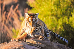 Tiger. A portrait shot of a bengal tiger Stock Images