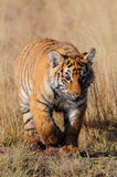 Tiger. A portrait shot of a bengal tiger Royalty Free Stock Images