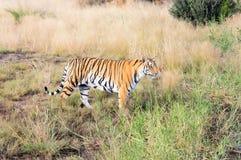 Tiger. A portrait shot of a bengal tiger Stock Photos