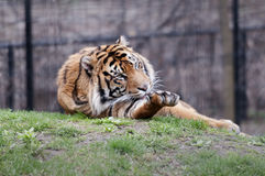 Tiger. Portrait of a siberian tiger Royalty Free Stock Photography