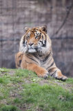 Tiger. Portrait of a siberian tiger Stock Photo