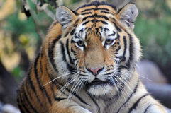 Tiger. Portrait of an Siberian tiger Stock Photography