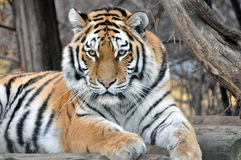 Tiger. Portrait of an Siberian tiger Royalty Free Stock Images