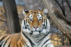 Tiger. Portrait of an Siberian tiger Royalty Free Stock Photography