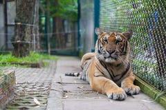 Tiger Portrait a strisce arancio tropicale in Tiger Temple Thailand immagini stock libere da diritti
