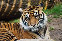 Tiger, portrait of a Sumatran Tiger Royalty Free Stock Photos