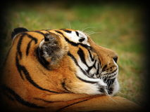 Tiger portrait with vignette Stock Image
