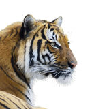 Tiger portrait watercolor Royalty Free Stock Photography