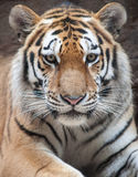 Tiger. Portrait of tiger in wild Royalty Free Stock Photos